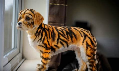 tiger puppy in china vendors are scamming with tiger breed this s