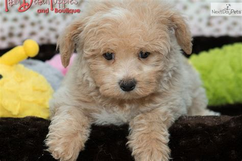 how much are maltipoo puppies malti poo maltipoo puppy for sale near west palm florida e759310c 1311