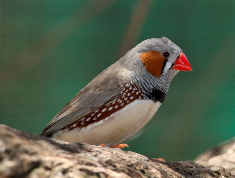zebra finch facts as pets care temperament pictures