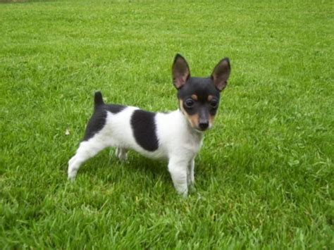 rat terrier puppies for sale 1000 ideas about rat terrier puppies on rat terriers rat terrier dogs