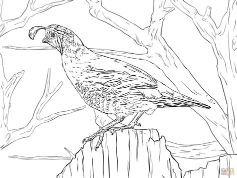 coloring page quail realistic california quail coloring page free printable