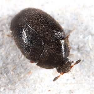 Carpet Beetles In by Carpet Beetle Cryptorhopalum Bugguide Net