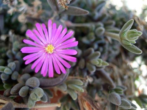 pianta grassa con fiori piante grasse con fiore piante grasse piante grasse fiore