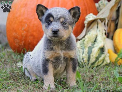 australian cattle puppies for sale in pa blue heeler australian cattle puppies for sale in pa heeler puppy pictures