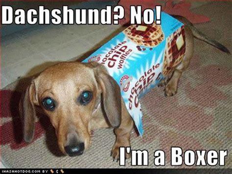 Funny Dachshund Memes - humor dachshund funny dachshund and dachshund love