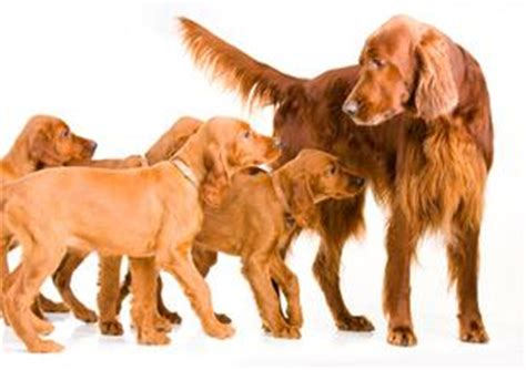 when can puppies be weaned weaning puppies