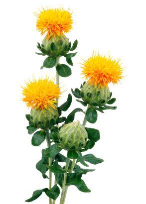 Fragrant Rose Plants - 18 uses for safflower grower direct fresh cut flowers presents
