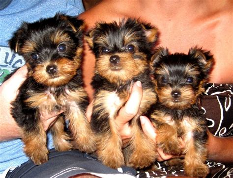 yorkie size pocketbook pups terriers blackie