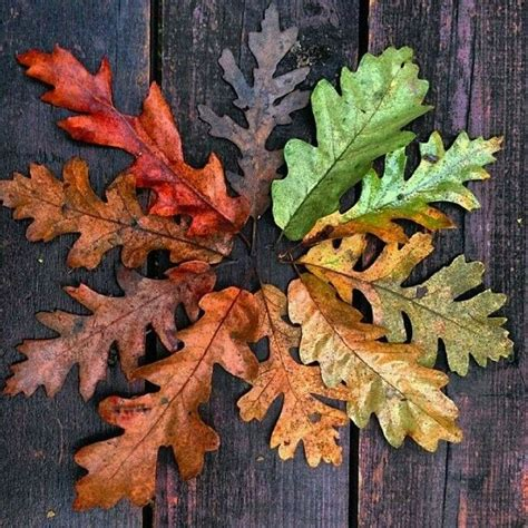 leaf colors oak leaves in various degrees of autumn color f a l