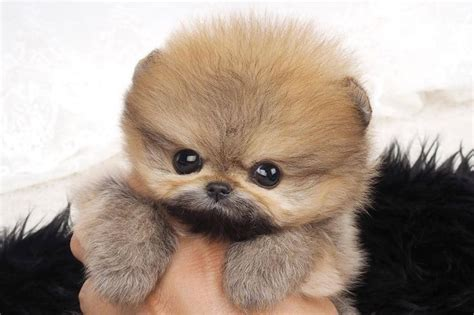 pomeranian price canada 28 best teacup pomeranian images on teacup pomeranian pomeranian and