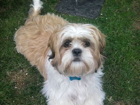 smallest shih tzu stud shih tzu or other small breed southton hshire pets4homes
