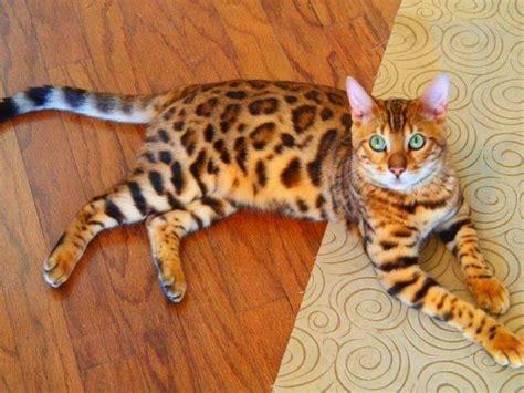bengal house cat bengal house cat i want one pets pinterest