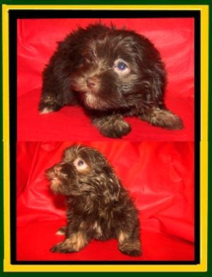 wheat state havanese photos updated 2 10 2015