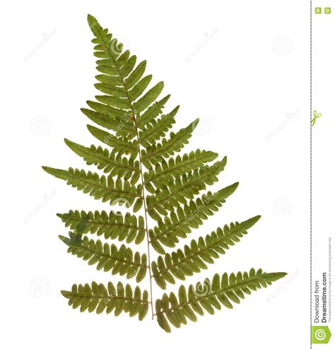Aplikasi Daun Kering Pressed Leaf dried and pressed fern leaf herbarium of fern isolated