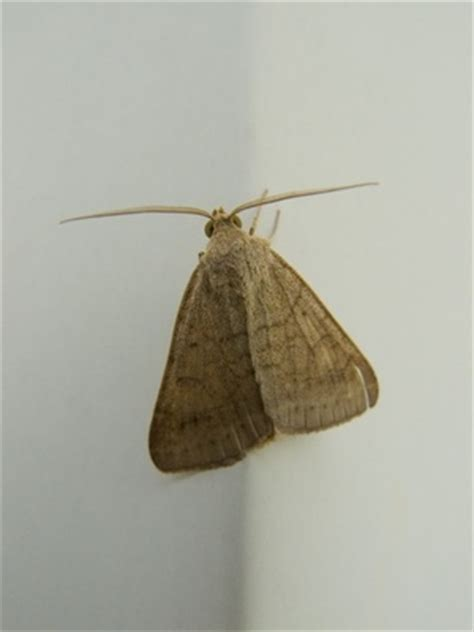 Bay Leaves And Pantry Moths by 15 Best Pantry Pests Images On Meal Moths