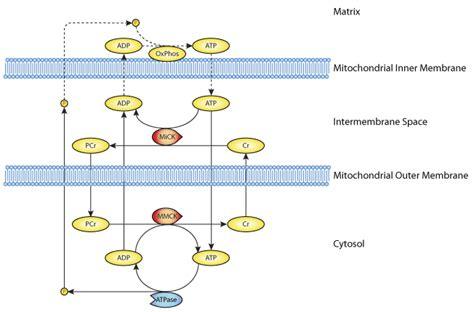 creatine phosphate function adenine nucleotide creatine phosphate module in myocardial