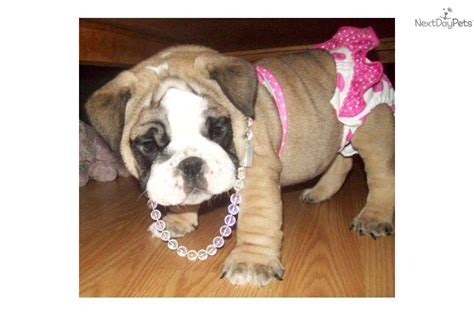 bulldog puppies near me bulldog puppies for sale near me