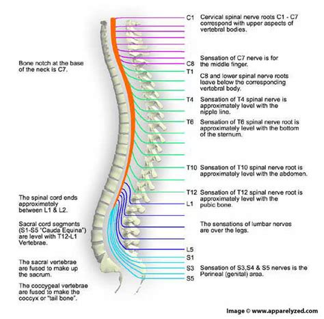 spinal cord pain after c section spinal cord spinal cord