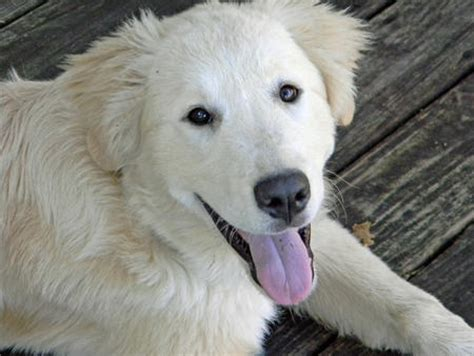 great pyrenees mix puppies chocolate lab and great pyrenees mix breeds picture
