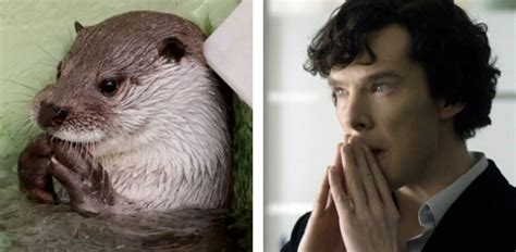 Cumberbatch Otter Meme - otters who look like benedict cumberbatch pictures
