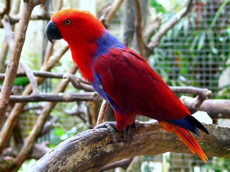 image gallery eclectus