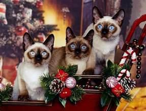 Siamese Cat Shedding siamese cats temperament pet picture gallery