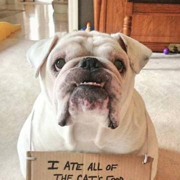 Bulldog Meme - funny bulldog memes google search bulldogs pinterest