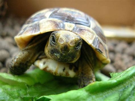 Flynn Tortoise best 25 land turtles ideas on baby