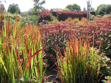 garten gräser schneiden japanisches blutgras imperata baron gras imperata