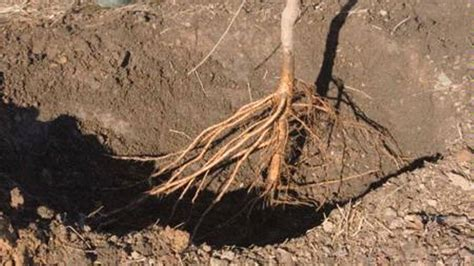 plant bare root trees  tribune