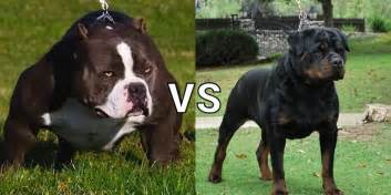 rottweiler bully pitbull vs bulldog real fight www pixshark images galleries with a bite