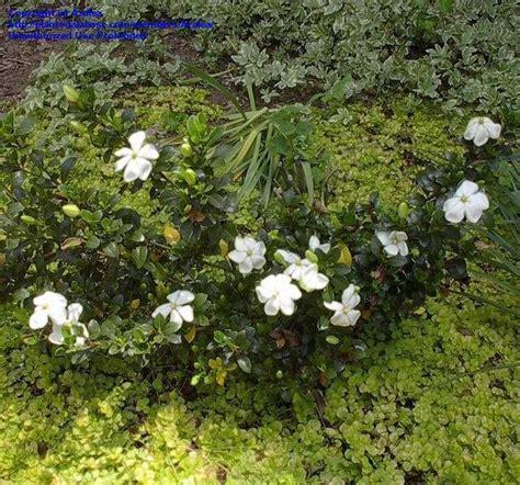 Gardenia Hardiness Plantfiles Pictures Gardenia Cape Gandharaj