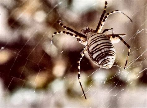 Garden Spider Utah Orb Weaver Spider On Web Arachnida Argiope Trifasciata