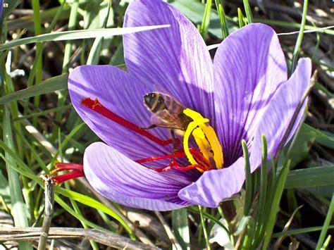 fiore zafferano sardegna digitallibrary immagini fiore e pistilli di