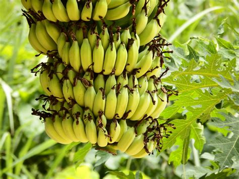 Bananas On Tree by Banana Bunch Free Stock Photo Public Domain Pictures
