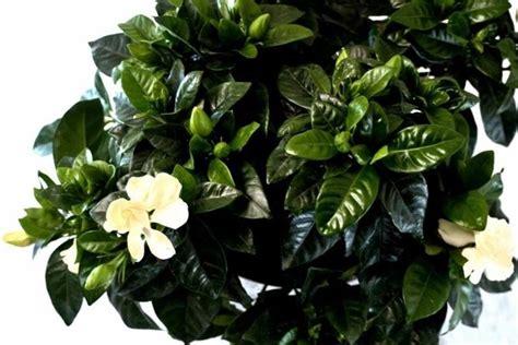gardenia in vaso gardenia giardinaggio piante appartamento curare la