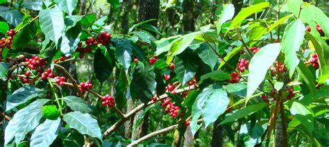 About Growing Coffee Trees in Your Home