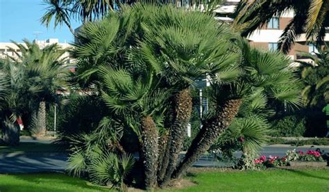 tipi palme da giardino chamaerops humilis e