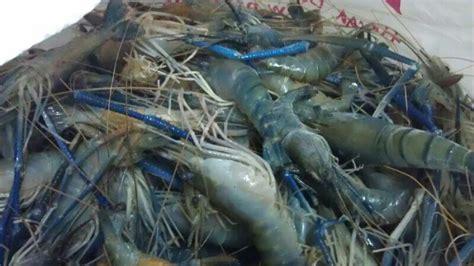 Udang Pakan Jogja produksi udang galah indnesia bibitikan net