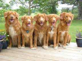 toller retriever dog nova scotia dogs