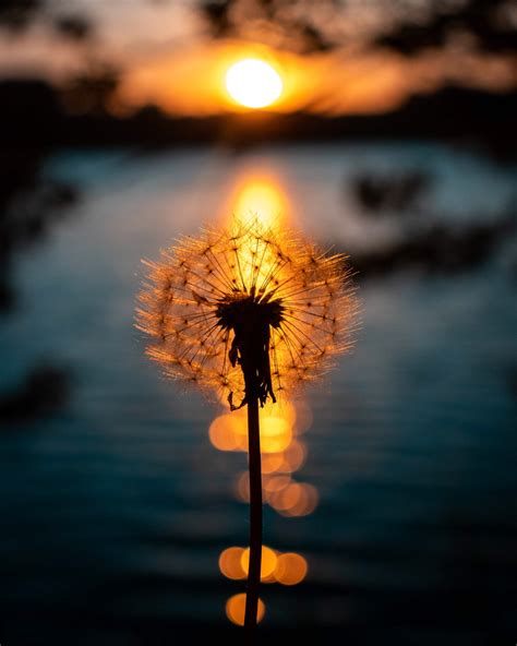 michael chilton  twitter  dandelion sunset