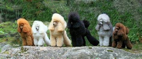 poodle colors poodle haircut poodles one of each color