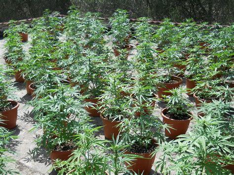 coltivare outdoor in vaso coltivare cannabis in terra cannabis1000windoor