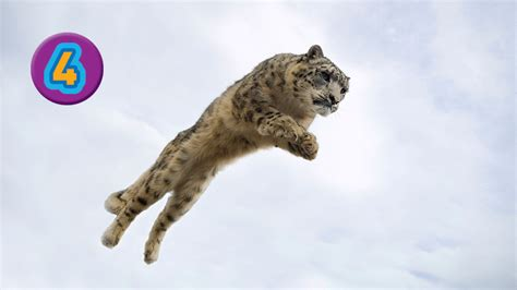 snow can awesome 8 meet the big cats
