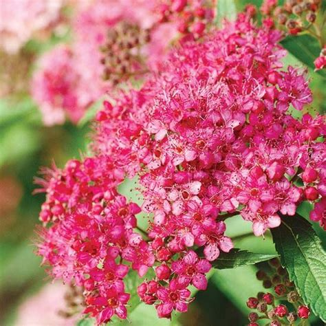 flowering shrubs for zone 6 17 best images about great shrubs for zone 5 6 on