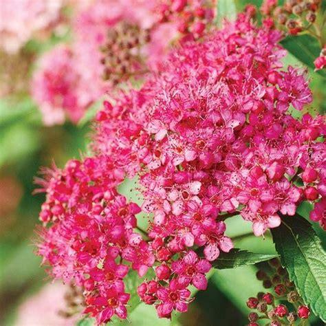 summer flowering shrubs spirea zone 2 3