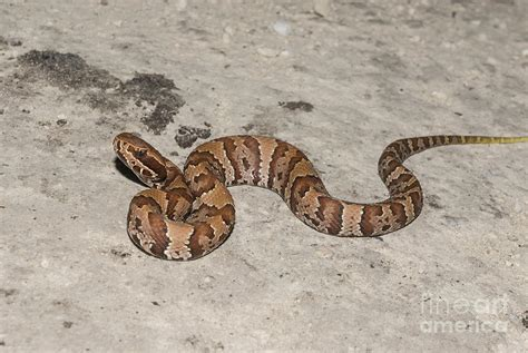 images of a water moccasin florida water moccasin agkistrodon piscivorus conanti