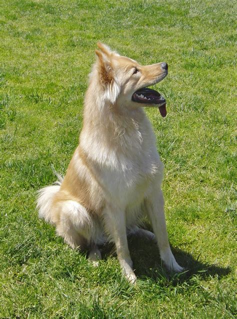golden retriever wolf mix here get a profile the proud golden wolf stands alone the dogs of san