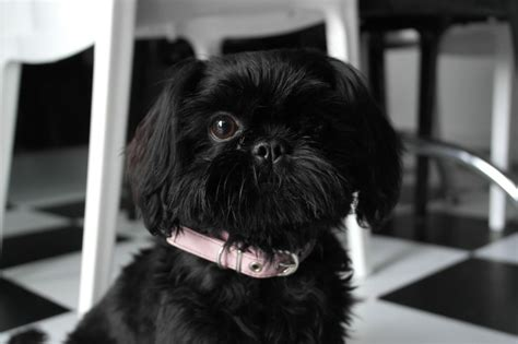 shih tzu imperial type black imperial shih tzu breeds picture