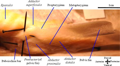 Janine M Ziermann Lateral View Of The Left Pelvic Girdle And Fin Muscles Of